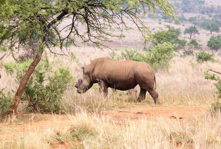 defaced: MAGALIESBERG, SOUTH AFRICA - October 14: Dehorning of rhinos in Askari Game Lodge, to protect them against poachers on October 14, 2015 at Magaliesberg, South Africa.  Defaced dehorned mother rhino walking off into bush after process.