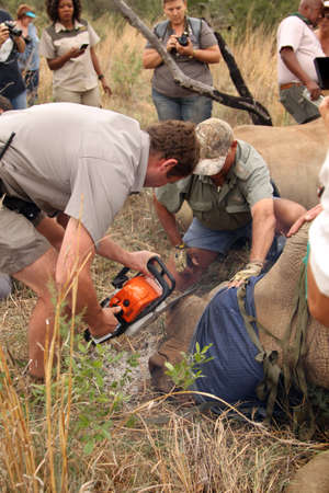 MAGALIESBERG, SOUTH AFRICA - October 14: Dehorning of rhinos in Askari Game Lodge, to protect them against poachers on October 14, 2015 at Magaliesberg, South Africa.  Dehorning of large rhino after been darted and stabilized.