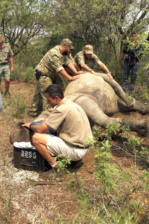defaced: MAGALIESBERG, SOUTH AFRICA - October 14: Dehorning of rhinos in Askari Game Lodge, to protect them against poachers on October 14, 2015 at Magaliesberg, South Africa.  Veterinarian checking on condition of darted rhino.