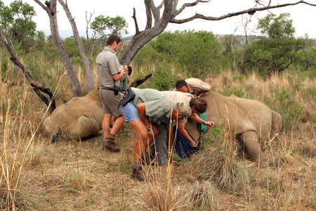 defaced: MAGALIESBERG, SOUTH AFRICA - October 14: Dehorning of rhinos in Askari Game Lodge, to protect them against poachers on October 14, 2015 at Magaliesberg, South Africa.  Mother and calf rhino been wakened with injection after dehorning.