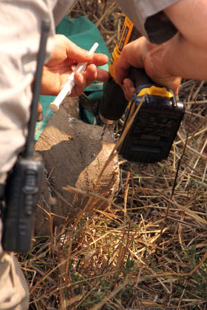 poach: MAGALIESBERG, SOUTH AFRICA - October 14: Dehorning of rhinos in Askari Game Lodge, to protect them against poachers on October 14, 2015 at Magaliesberg, South Africa.  Veterinarian inserting new microchip into remainder of rhinos horn.