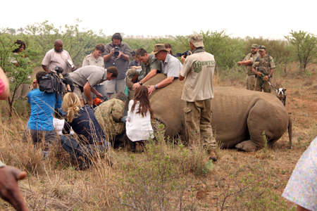 defaced: MAGALIESBERG, SOUTH AFRICA - October 14: Dehorning of rhinos in Askari Game Lodge, to protect them against poachers on October 14, 2015 at Magaliesberg, South Africa.  Dehorning started on large rhino after been darted and stabilized.