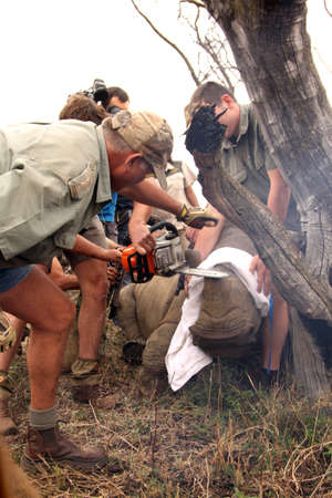 defaced: MAGALIESBERG, SOUTH AFRICA - October 14: Dehorning of rhinos in Askari Game Lodge, to protect them against poachers on October 14, 2015 at Magaliesberg, South Africa.  Series 5 of 6: Dehorning of rhino calf after been darted and stabilized. Editorial