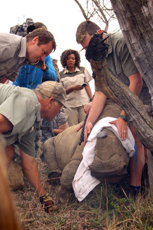 defaced: MAGALIESBERG, SOUTH AFRICA - October 14: Dehorning of rhinos in Askari Game Lodge, to protect them against poachers on October 14, 2015 at Magaliesberg, South Africa.  Series 6 of 6: Dehorning of rhino calf after been darted and stabilized.