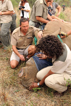poach: MAGALIESBERG, SOUTH AFRICA - October 14: Dehorning of rhinos in Askari Game Lodge, to protect them against poachers on October 14, 2015 at Magaliesberg, South Africa.  Ranger with rhino calf after been dehorned. Editorial