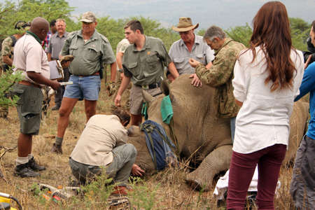 defaced: MAGALIESBERG, SOUTH AFRICA - October 14: Dehorning of rhinos in Askari Game Lodge, to protect them against poachers on October 14, 2015 at Magaliesberg, South Africa.  Government official documenting animals dehorning and chip information.