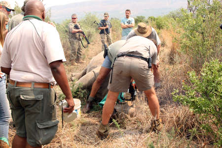 poaching: MAGALIESBERG, SOUTH AFRICA - October 14: Dehorning of rhinos in Askari Game Lodge, to protect them against poachers on October 14, 2015 at Magaliesberg, South Africa.  Dehorning started under close armed protection of Anti Poaching Unit for protection. Editorial