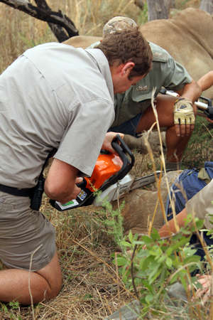 MAGALIESBERG, SOUTH AFRICA - October 14: Dehorning of rhinos in Askari Game Lodge, to protect them against poachers on October 14, 2015 at Magaliesberg, South Africa.  Dehorning started on large rhino after been darted and stabilized.