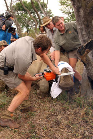 defaced: MAGALIESBERG, SOUTH AFRICA - October 14: Dehorning of rhinos in Askari Game Lodge, to protect them against poachers on October 14, 2015 at Magaliesberg, South Africa.  Series 2 of 6: Dehorning of rhino calf after been darted and stabilized.