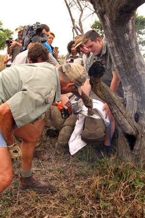 poach: MAGALIESBERG, SOUTH AFRICA - October 14: Dehorning of rhinos in Askari Game Lodge, to protect them against poachers on October 14, 2015 at Magaliesberg, South Africa.  Series 4 of 6: Dehorning of rhino calf after been darted and stabilized.