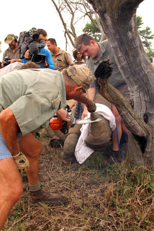 MAGALIESBERG, SOUTH AFRICA - October 14: Dehorning of rhinos in Askari Game Lodge, to protect them against poachers on October 14, 2015 at Magaliesberg, South Africa.  Series 3 of 6: Dehorning of rhino calf after been darted and stabilized.
