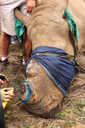 defaced: MAGALIESBERG, SOUTH AFRICA - October 14: Dehorning of rhinos in Askari Game Lodge, to protect them against poachers on October 14, 2015 at Magaliesberg, South Africa.  Antiseptic spray used  on horn remainder of dehorned rhino. Editorial