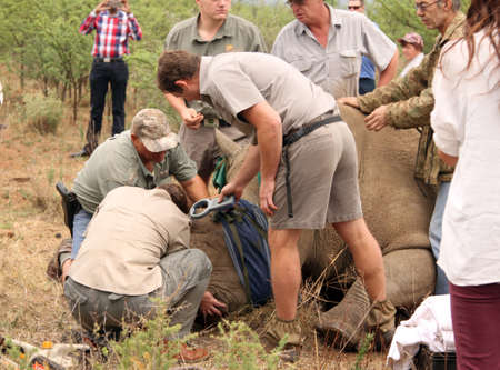 defaced: MAGALIESBERG, SOUTH AFRICA - October 14: Dehorning of rhinos in Askari Game Lodge, to protect them against poachers on October 14, 2015 at Magaliesberg, South Africa.  Confirming if rhinos existing microchip was removed during trimming process. Editorial