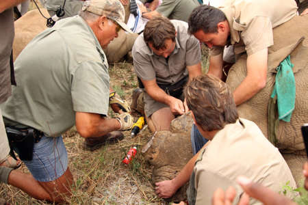 defaced: MAGALIESBERG, SOUTH AFRICA - October 14: Dehorning of rhinos in Askari Game Lodge, to protect them against poachers on October 14, 2015 at Magaliesberg, South Africa.  Veterinarian inserting new microchip into remainder of rhinos horn.