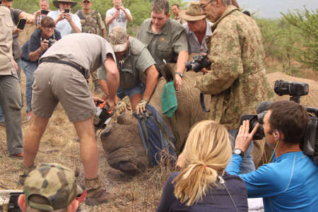 defaced: MAGALIESBERG, SOUTH AFRICA - October 14: Dehorning of rhinos in Askari Game Lodge, to protect them against poachers on October 14, 2015 at Magaliesberg, South Africa.  Finishing dehorning of large rhino after been darted.
