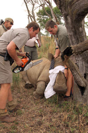 poach: MAGALIESBERG, SOUTH AFRICA - October 14: Dehorning of rhinos in Askari Game Lodge, to protect them against poachers on October 14, 2015 at Magaliesberg, South Africa.  Series 1 of 6: Dehorning of rhino calf after been darted and stabilized.