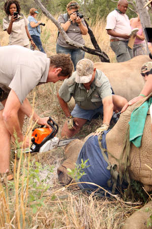 defaced: MAGALIESBERG, SOUTH AFRICA - October 14: Dehorning of rhinos in Askari Game Lodge, to protect them against poachers on October 14, 2015 at Magaliesberg, South Africa.  Dehorning of large rhino after been darted and stabilized.