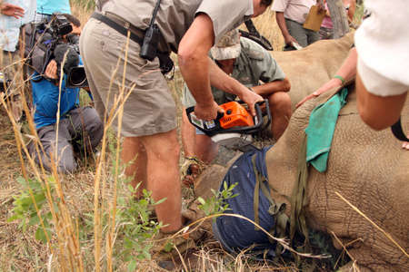 defaced: MAGALIESBERG, SOUTH AFRICA - October 14: Dehorning of rhinos in Askari Game Lodge, to protect them against poachers on October 14, 2015 at Magaliesberg, South Africa.  Dehorning of second small horn of large rhino. Editorial