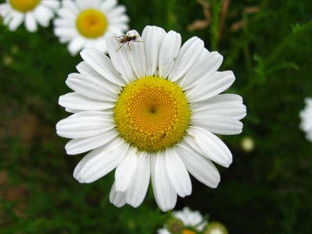 centered: Centered Daisy