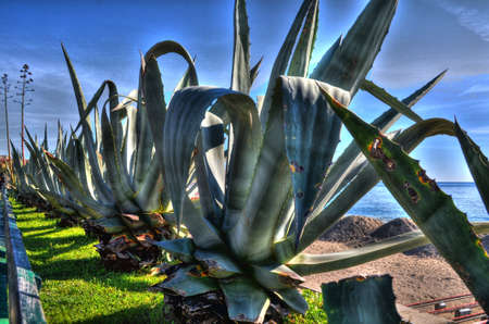 agave: Agave HDR Banque d'images