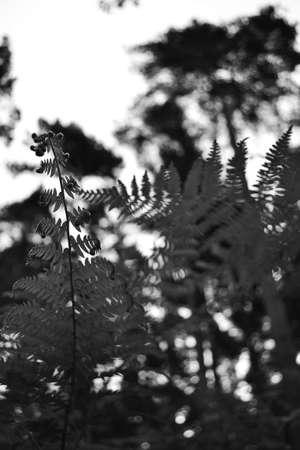 black moor: Black and white fern