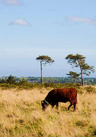 heathland: Cow grazing on heathland Stock Photo