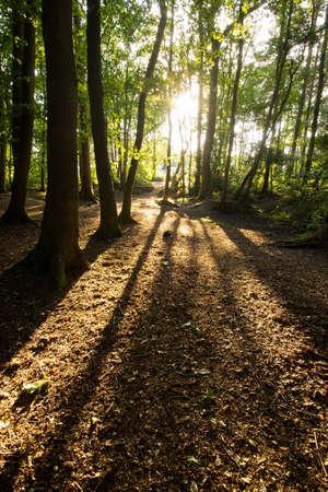 arboles secos: El sol brilla bajo a través de una zona boscosa proyectando largas sombras sobre las hojas muertas en el suelo del bosque Foto de archivo