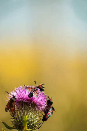 thistle plant: Red and black insects on a pink thistle plant.