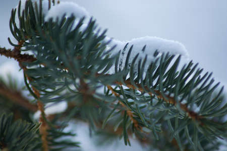pine needles close up: A close up of pine needles covered in snow Stock Photo