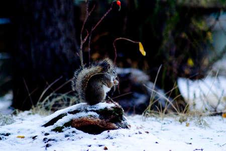 chipmunk: Una ardilla comiendo en la nieve Foto de archivo
