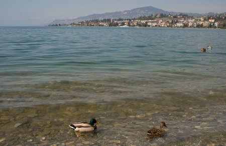 geneva: Lake Geneva ducks Stock Photo