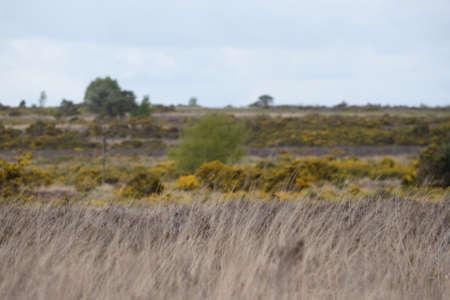 heathland: Looking across heathland and gorse