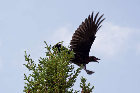 black raven: A black raven taking off from the top of a pine tree.
