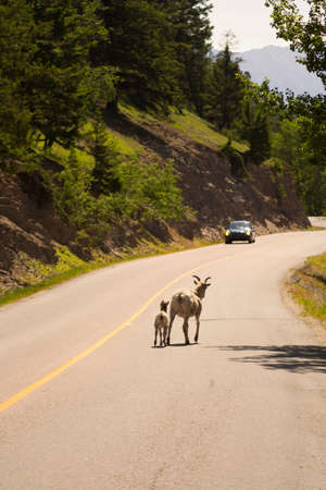 canadian rockies: A mother and baby bighorn sheep walking along a road in the Canadian rockies, a car approaching on the other side of the road. Stock Photo