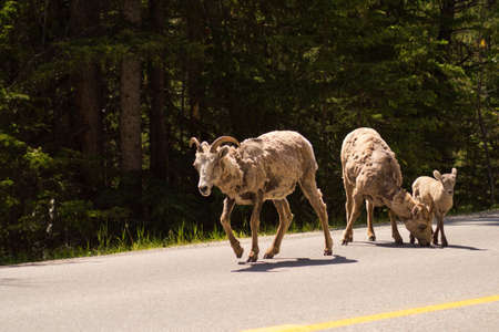 canadian rockies: A family of bighorn sheep on a road in the Canadian rockies