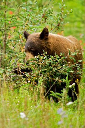 bear berry: A cinnamon black bear eating berries from a bush in long grass