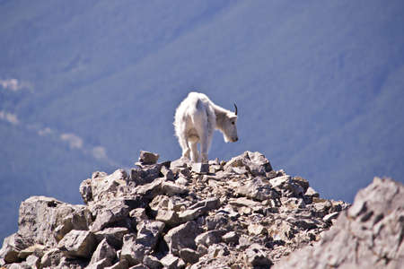 valley below: A white mountain goat on a pile of rocks at the summit of a mountain, the valley below is covered with pine trees.