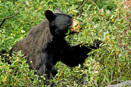 eating area: A black bear eating orange berries on a bush in a well lit area. Stock Photo