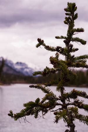 pine needles close up: A small pine tree in the foreground with a river and mountains in the background. Stock Photo