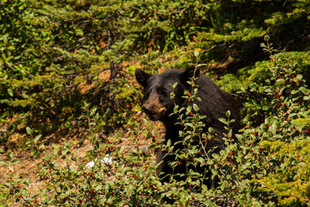 bear berry: A Canadian black bear eating from a berry bush in Banff national park Stock Photo