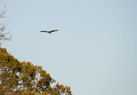 zopilote: Un halc�n com�n Buteo Buteo que se eleva sobre una zona boscosa.