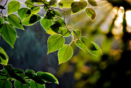 backlights: Leaves. Stock Photo