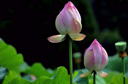 puberty: lotus in early puberty Stock Photo