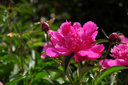 nobles: Close up to a peony