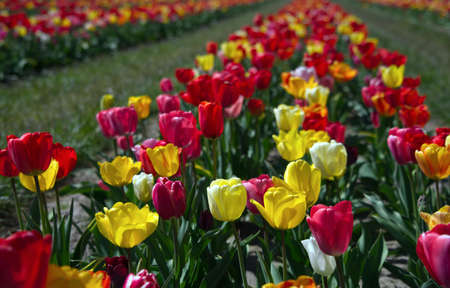 Beautiful coloured tulips in the Netherlands