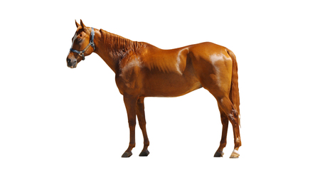 Brown Horse Profile Isolated on White Background