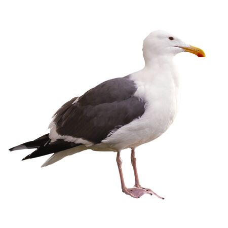 One seagull isolated on a white background.