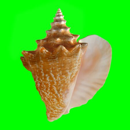 Conch Shell on Chroma Key Green 1