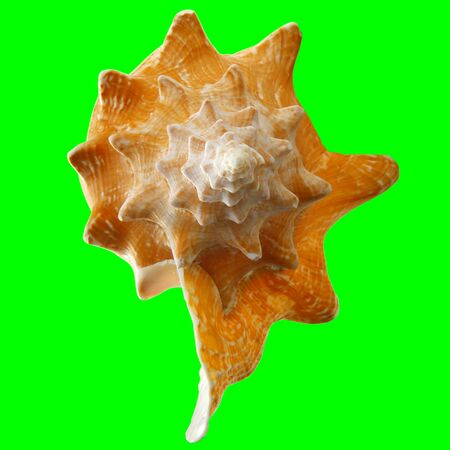 Conch Shell on Chroma Key Green 3