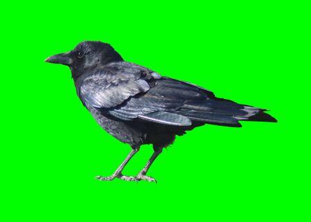 Black Crow Isolated on Chroma Key Green Background Archivio Fotografico